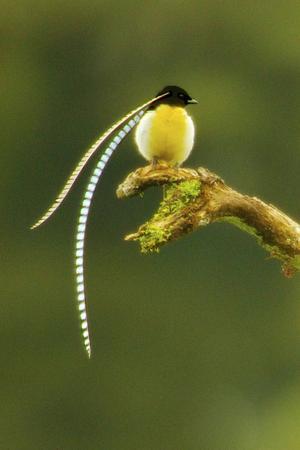 Flaggbäraren är en av flera arter av paradisfåglar som lever i bergsregnskogarna på Nya Guinea. De hotas nu av klimatuppvärmningen. Tim Laman/TT