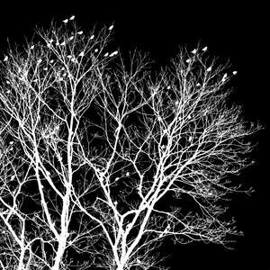 På Annandag jul kom en flock sidensvansar och slog sig ner i grannens träd. Jag har beskurit bilden till kvadratiskt format, gjort den svartvitt och vänt den till negativ, allt för att få en