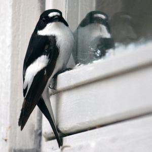 En hane av svartvit flugsnappare hade problem med en illusion av en rival vid vårt garagefönster. Hur den än försökte jaga bort den andra hanen fanns den kvar i garagefönstrets spegelbild… Den var så upptagen med detta att jag kunde komma rätt nära utan att den flög iväg.