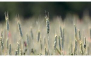 Vajande sädesfält.Foto: JANERIK HENRIKSSON / SCANPIX