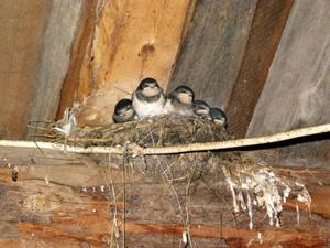 Sex svalungar bor i fjöset och mamman och pappan flyger in och ut och ger dem mat.