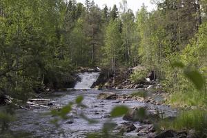 Hans Lidman var en av de första som reagerade på hur människan förstörde skogsåar med maskiner och dynamit till förmån för vattenkraften och timmerflottningen. Nu har Svartån så smått börjat återhämta sig, men fortfarande finns strikta fiskeregler för den som vill testa fiskelyckan.