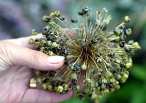 Överblommad men vacker i sitt torkade tillstånd får alliumen stå kvar i trädgården hela vintern.