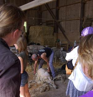 Mästare. Nissgärdsgårdens ägare Chris Wurst är gammal svensk mästare i fårklippning och vid gårdsdagen visade han sin skicklighet.