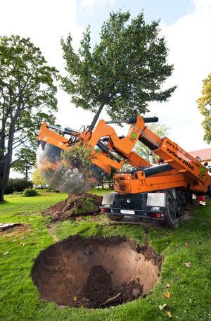 Europas näst största trädflyttningsmaskin är just nu i Borlänge för att flytta lindar.