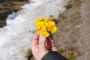 Visst är det härligt med vårens första Tussilago. Foto: Björn Bergström, Hallstahammar