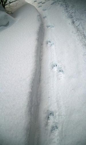 Hundspår kan vara förvillande likt en ungvarg - fast i Gränsfors var det ingen varg.