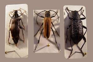 Tre hotade skalbaggar som utvecklas i björkved: djupsvart brunbagge, nordlig blombock och större svartbagge. Kroppslängden är 12–18 millimeter.