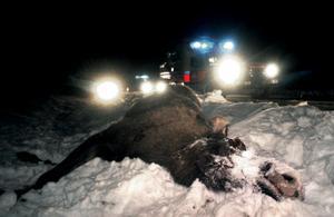 1,5 procent av bilisterna i Jämtlands län råkade ut för en viltolycka under 2008.