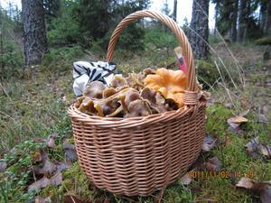 Idag den 2 november sken solen efter lunch. Jag fick en fin promenad i skogen och gladde flera grannar med färsk svamp. Det mesta var stora fina trattkantareller. Det är en förmån att kunna ta en cykel hemmifrån och hämta tin svamp i skogen.