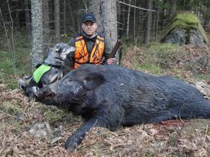 Att han skulle komma hem med ett vildsvin på ett kvarts ton hade Jonny Åhlstrand inte räknat med, under älgjakten i skogarna mellan  Gysinge och Österfärnebo i går.