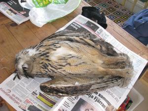 TÄCKER TVÅ ARBETARBLADET. En död berguv påträffades i går morse  i närheten av en kraftledningsstolpe i Alborga. Precis hur stor den praktfulla fågeln är blir tydligt då Pernilla Hansson, som hittade fågeln, lade den på uppslagna Arbetarbladet när hon skulle fotografera den. Fågeln är nu inlämnad till polisen.