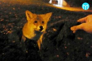Stefan Ekström stötte på en nyfiken rödräv på Bjurhovda sent i lördags. Bilden är en skärmdump ur hans film.
