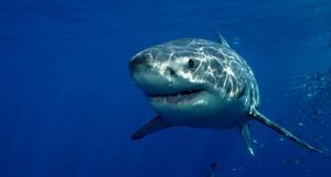 Nu vidtar regeringen i Australien åtgärder för att skydda allmänheten mot hajattacker.