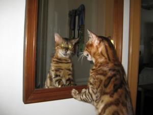 Bengalen Rhambo 2 år beundrar sig själv i spegeln och undrar om han vackrast i världen är :)