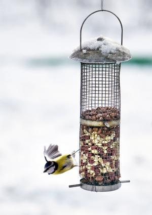Blåmes en vanlig gäst. Det är inte ovanligt med ett fyrtiotal fåglar vid matningen i Bjarnes trädgård.Foto: Tony Persson