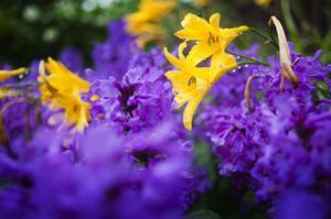 Gula dagsliljor och lila praktbetonika bildar en vacker och färgsprakande kombination.