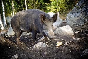 Vildsvin ställer till problem på många håll i landet. Fotograf: Claes Söderberg