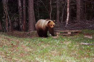 Här är björnen på väg mot bikuporna i Bönan i torsdags kväll.