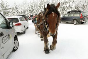 Ardennern Otto drog runt besökarna i vinterlandskapet.