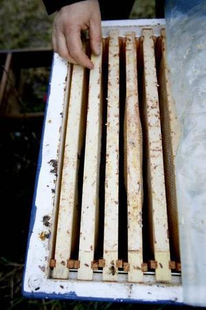 Det kanske inte syns så tydligt, men mellan ramarna trängs tiotusentals bin som ligger och håller värmen och väntar på våren. I april börjar biodlarens intensiva period. Då gäller det att föröka bina så mycket som möjligt. Från runt 20000 övervintrande bin växer samhället till mellan 50000 och 60000 bin under sommaren när det finns som mest nektar att samla in. Ett samhälle kan ge 30 kilo honung på en säsong.