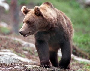 Snart börjar björnjakten. I samband med den har flera illegala åtlar hittats runt om i kommunen.