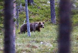 Länsstyrelsen i länet förlorar rätten att besluta om jakt på rovdjur från årsskiftet.