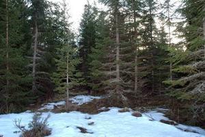 Jägareförbundet har gett råd till jaktlaget att inte jaga här i skogen öster o Mehedeby. Sannolikt kommer nämligen den väckte björnen att lägga sig igen någonstans i närheten.