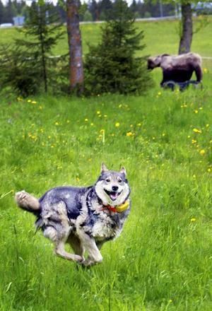 Ila , 9 år, är en pigg älgchampion som under lördagen fick testa på att möta en björn. Det var inte särskilt intressant, tyckte den duktige älgjagaren.