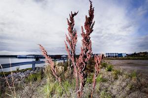 Stor ängssyra med massor av frön kan man få se på det tomma industriområdet.