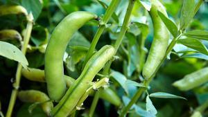 Bönor och ärtor tar upp kvävet i luften och skapar egen näring. Därför behöver de inte så mycket gödsel.