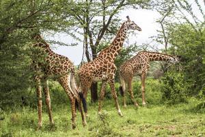 Girafferna är talrika både inom och utanför reservaten i Tanzania. Där det finns träd för dem att beta blad ifrån uppehåller de sig. En vuxen giraff har få fiender och fälls bara undantagsvis av lejon.