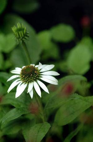 Långlivad. Den vita solhatten är en reslig perenn med blommor som varar länge. Den kallas allmänt