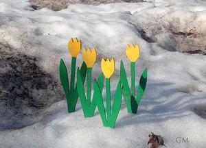 Välkommen vår. Påskliljor i smutsig snö utanför Stenhuset i Surahammar.Foto: Gullvi Malmberg
