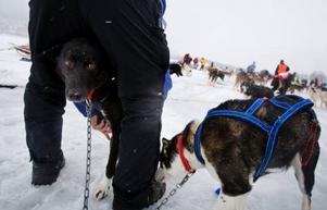 Hundarna tas på en typ av strumpa som extra skydd.