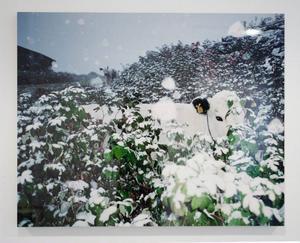 """My Hellstens fotoutställning """"Fjällkor"""" visas för första gången i sin helhet i Sverige på Lars Bolin Gallery."""
