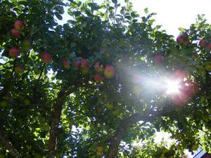 Ett träd fullt med goda äpplen.