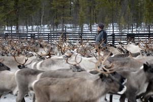 Jörgen Jonsson i renhjorden som beräknas ha förlorat minst 1100 djur under sommaren till rovdjur.
