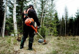 De utländska skogsarbetarna röjer i våra skogar utan skyddsutrustning