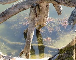 Vad hjälper det att sträcka sina torra grenar ner i det klara vattnet