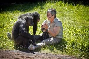 Vad är det i presentpaketet? Födelsedagsbarnet Selma var inte lika intresserad som resten av schimpansflocken.