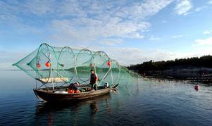 Kommunens företrädare anser att de så kallade husbehovsfiskarna längs kusten är ett stort problem när det gäller att öka fiskvandringen i Moälven.