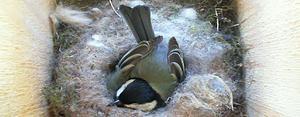 Talgoxmamman har i snart två veckor synts ruva på sina ägg. Men nu har hon hittats död.