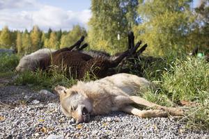 Den unge men fullvuxne varghannen hann döda fem får till innan han sköts.