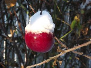Ett sista äpple håller sig kvar i träden i 15 gradig kyla