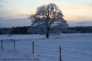 En vinter bild på våran stora ek som jag tog här hemma.