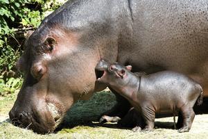 En två dagar gammal flodhästunge leker med sin mamma på Basel Zoo i Schweiz.