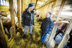 Flera av Henrik Johanssons och Eva Molins mjölkkor har blivit så kallade