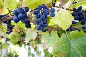 Heinemans druvor smakar som en blandning av mogna krusbär, svarta vinbär och smultron.