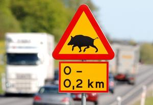 Vildsvin på väg. Lär dig svinens beteenden för att undvika olyckor med dem. Och om olyckan är framme - passa dig för anfallande galtar med sylvassa betar.